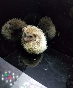 Hedgehog For Sale