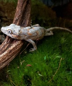 Baby Gargoyle Gecko For Sale