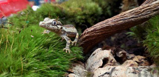 Baby Gargoyle Gecko For Sale