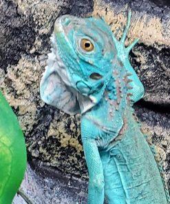 Iguanas
