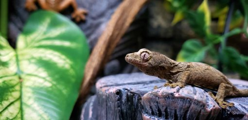 Chahoua Gecko For Sale