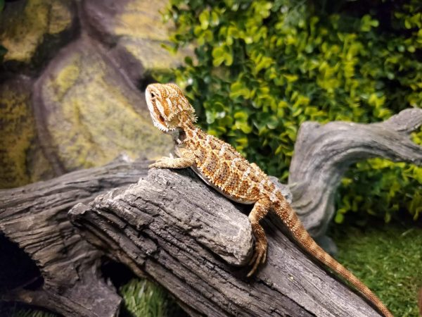 Bearded Dragon Female