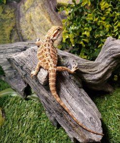Bearded Dragon Female