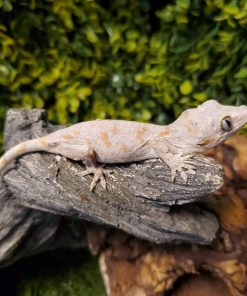 Orange Blotch Gargoyle