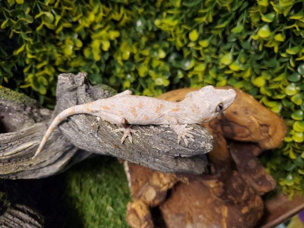 Orange Blotch Gargoyle