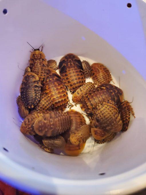 Discoid Roaches