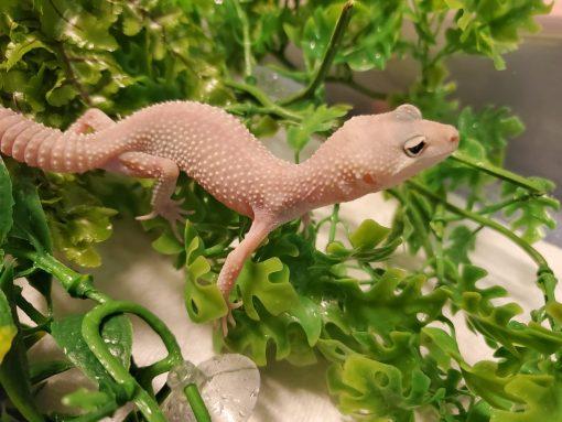 Leopard Gecko White