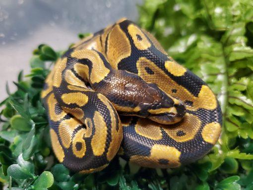 Ball Python Baby