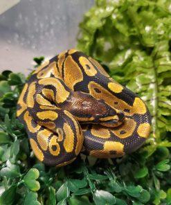 Ball Python Baby For sale