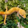 Leopard Gecko Carrot Tail