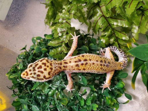 Leopard Gecko Hi Yellow