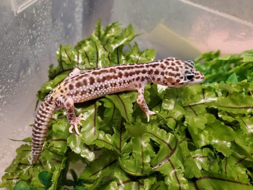 Leopard Gecko Super Snow