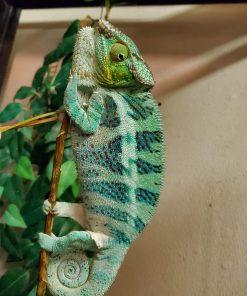 pet chameleon for sale