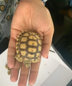 HET Ivory Sulcata tortoise for sale