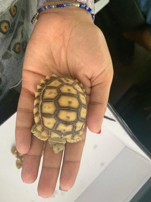 HET Ivory Sulcata tortoise for sale
